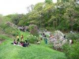 content Lilac Sunday Arnold Arboretum Jamaica Plain MA